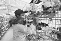 85后失聪大学生严漫:找不到工作养鸽子致富年售300万